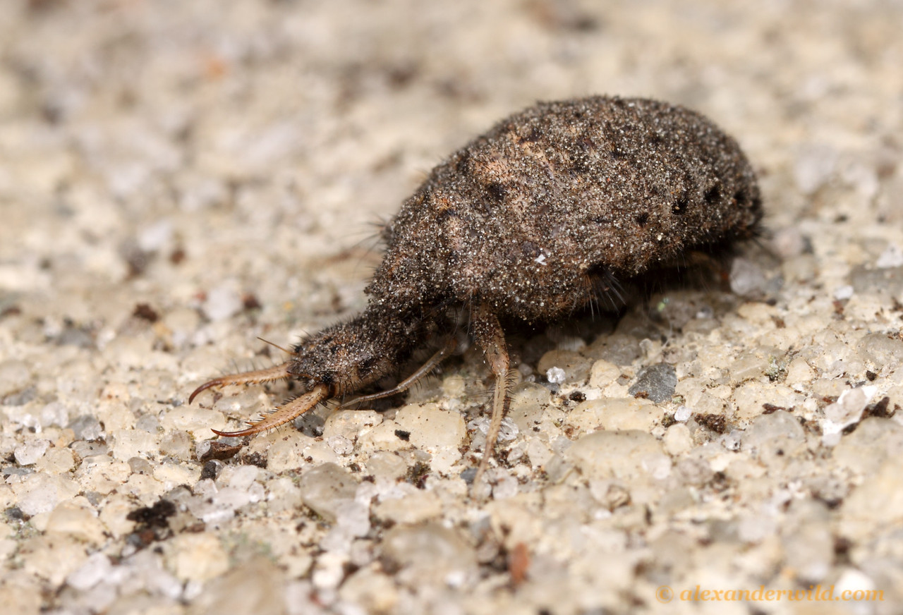 An antlion larva (Myrmeleontidae) removed from its sand pit.  Archbold Biological Station, Florida, USA