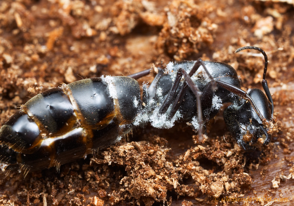 The most risky phase in the life history of an ant colony is during founding, when young females set off to start new colonies.  The vast majority perish at this stage.  This queen carpenter ant (Camponotus modoc has been attacked and killed by a fungus, whose white hyphae are seen emerging from the carcass.  Sagehen Creek Field Station, California, USA