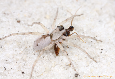 A predatory wolf spider has caught a male trap-jaw ant in the white sand scrub of central Florida.  Archbold Biological Station, Florida, USA