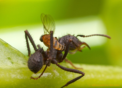 A parasitic Apocephalus phorid fly attempts to lay her egg (note the long, snaking ovipositor) while her Acromyrmex leafcutter victim struggles to pin the attacker against her defensive spines.  Monte Verde, Minas Gerais, Brazil
