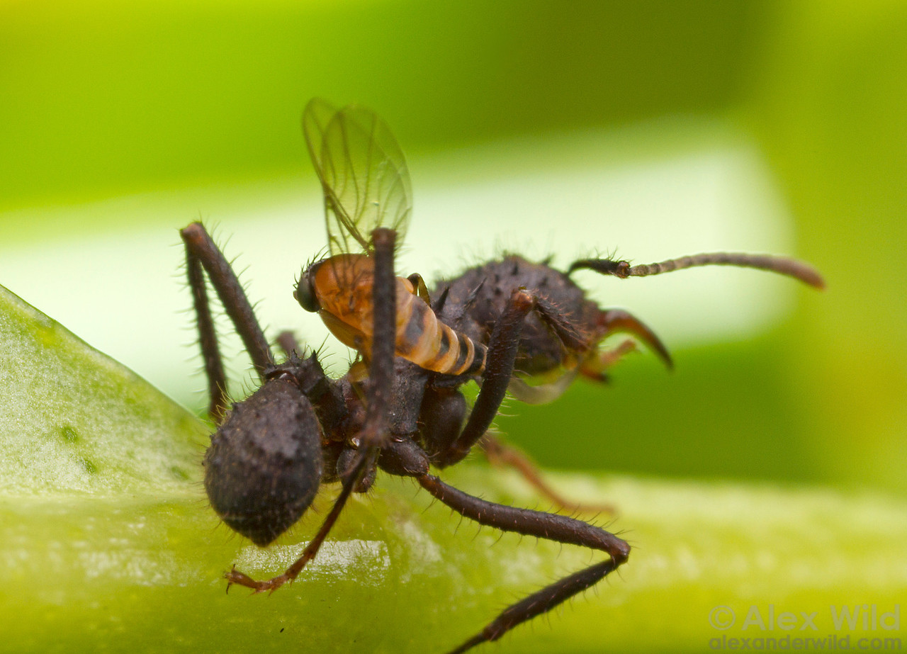 A parasitic Apocephalus phorid fly attempts to lay her egg (note the long, snaking ovipositor) while her Acromyrmex leafcutter victim struggles to pin the attacker against her defensive spines.