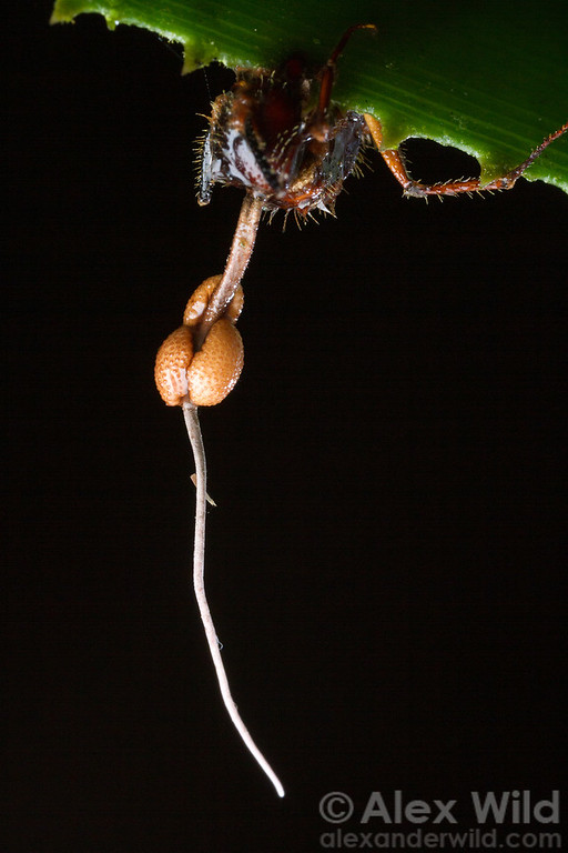 An Ophiocordyceps fungus grows from the neck of a Camponotus carpenter ant it has killed.  Armenia, Belize