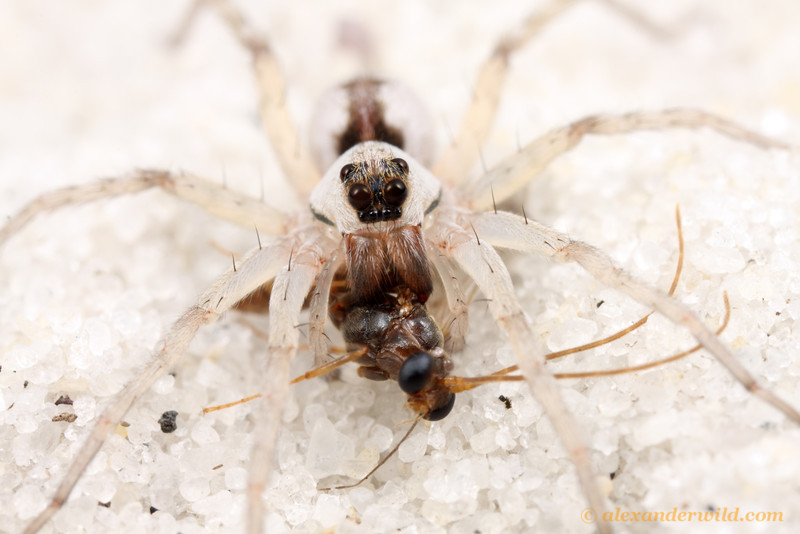 A predatory wolf spider has caught a male trap-jaw ant in the white sand scrub of central Florida.