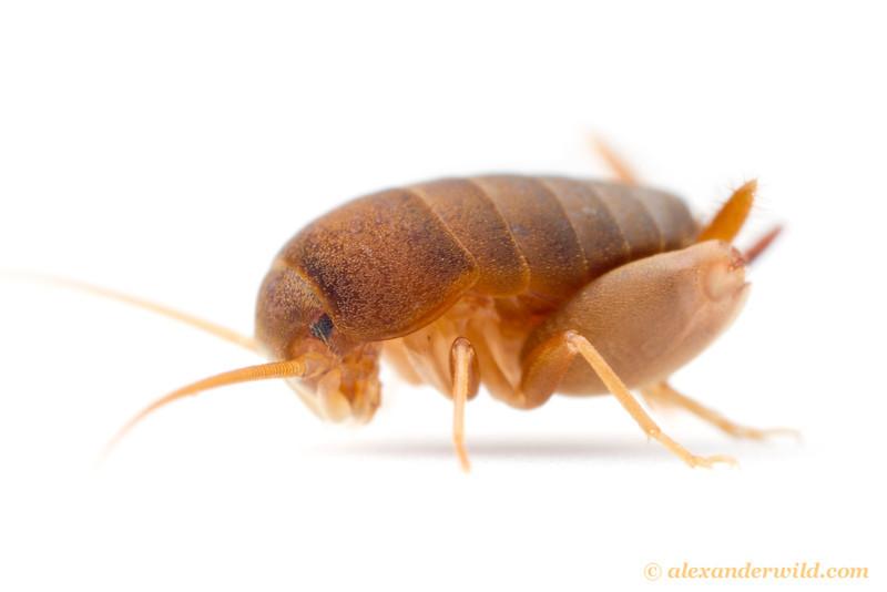 Portrait of an eastern ant cricket, Myrmecophilus pergandei.  Urbana, Illinois, USA