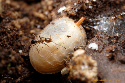 Larvae of syrphid flies in the genus Microdon are so odd that they were originally described as molluscs.  The adults are more or less normal-looking flies, but larvae are predators of ant brood, living within the dark galleries of ant nests (in this case, with Linepithema oblongum).  Termas de Reyes, Jujuy, Argentina