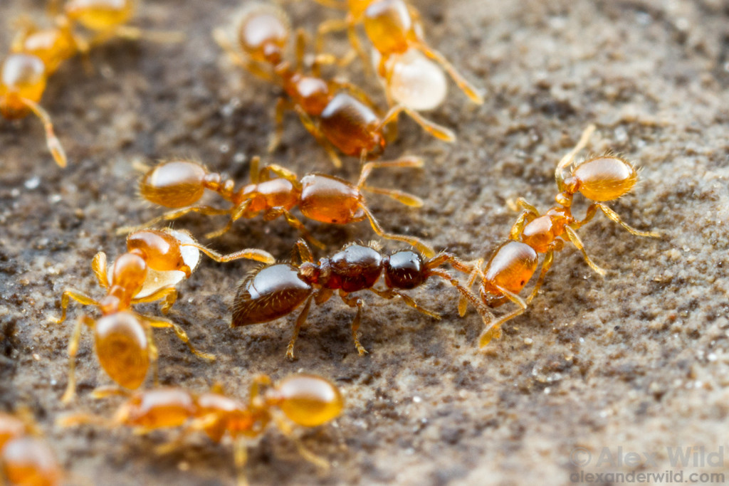 A small inquiline wasp (Diapriidae: Bruesopria) in a nest of its host species, the thief ant Solenopsis molesta. Young wasps likely feed on the developing ant larvae.  Konza Prairie, Kansas, USA