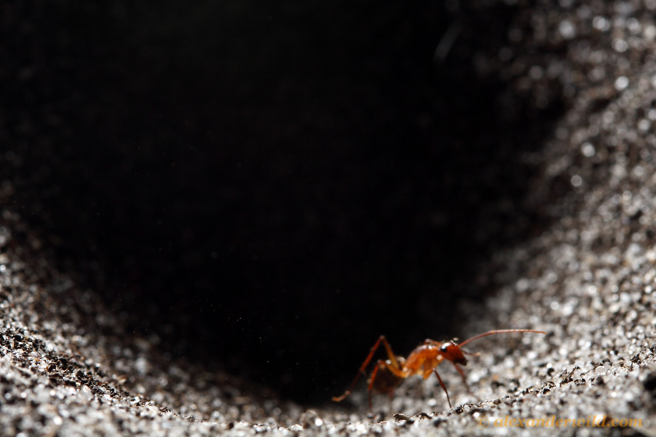 An ant (Camponotus tortuganus) attempts to climb out of an antlion pit.  Archbold Biological Station, Florida, USA