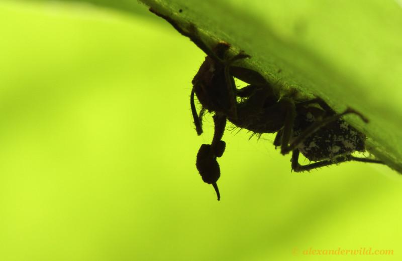 Silhouette of an Ophiocordyceps ant-killing fungus.  Jatun Sacha reserve, Napo, Ecuador