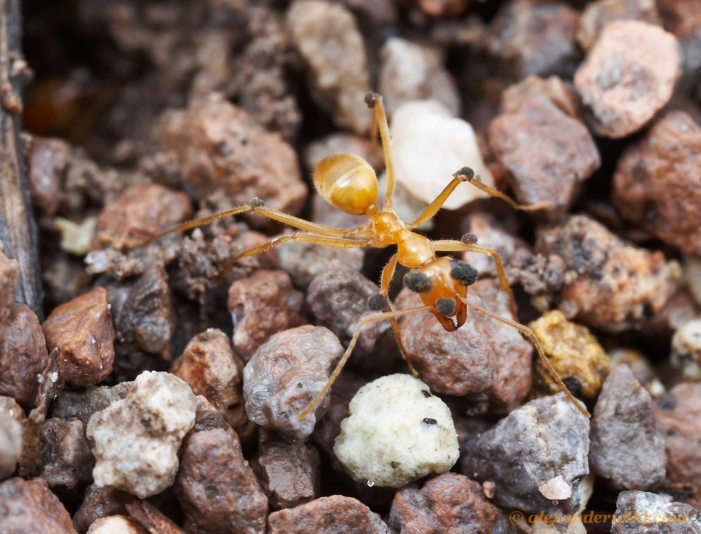 This worker honeypot ant (Myrmecocystus mexicanus) is slowly being consumed from within by a fungus, visible here as growths extruding from the body and appendages.  As soil-dwelling creatures, ants are in constant battle against microbes that thrive in the warm, humid conditions of their nests.