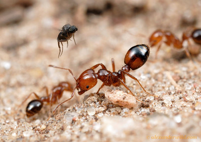 An Ant-Decapitating Fly (Phoridae, Pseudacteon sp.) attempts to separate a fire ant (Solenopsis macdonaghi) from her nestmates. Lone ants make easier targets.    Parque Nacional El Palmar, Entre Rios, Argentina