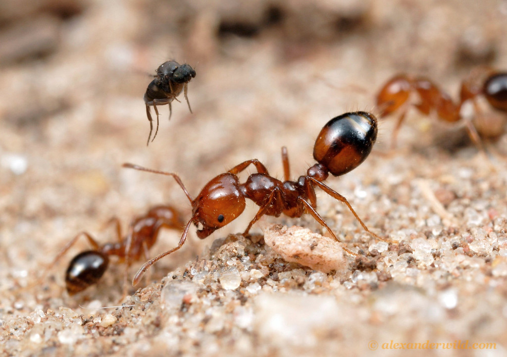 An Ant-Decapitating Fly (Phoridae, Pseudacteon sp.) attempts to separate a fire ant (Solenopsis macdonaghi) from her nestmates. Lone ants make easier targets.  