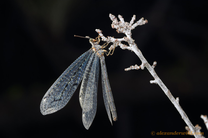 An adult antlion.