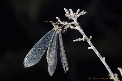 An adult antlion.  Sagehen Creek Field Station, California, USA