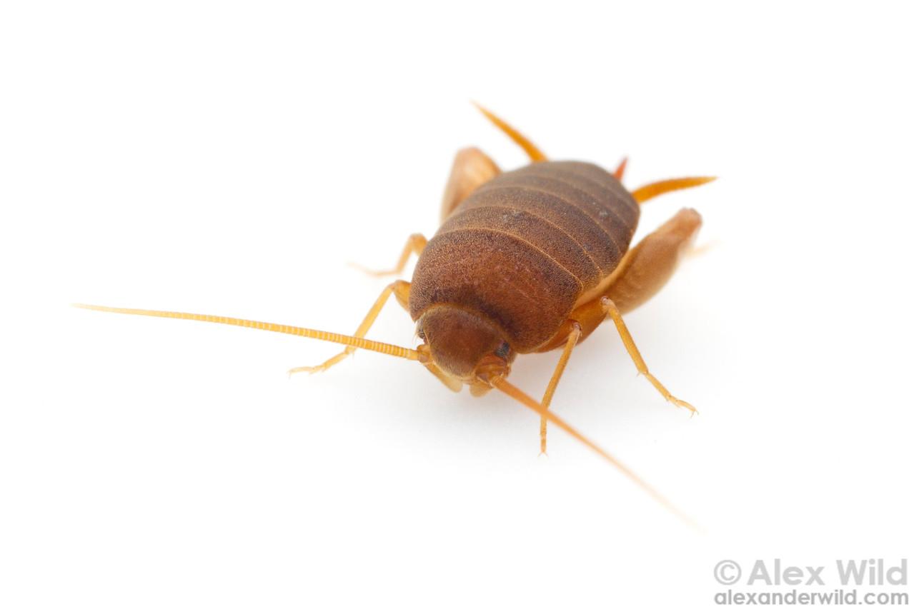 The eastern ant cricket Myrmecophilus pergandei.  Urbana, Illinois, USA