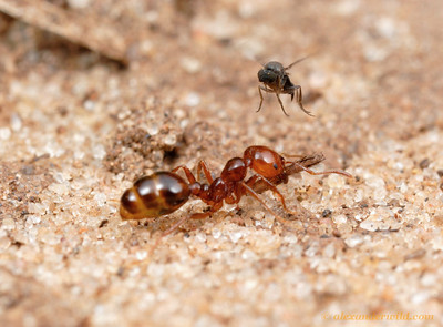 An Ant-Decapitating Fly (Phoridae, Pseudacteon sp.) attempts to oviposit on a fire ant (Solenopsis macdonaghi).  Parque Nacional El Palmar, Entre Rios, Argentina