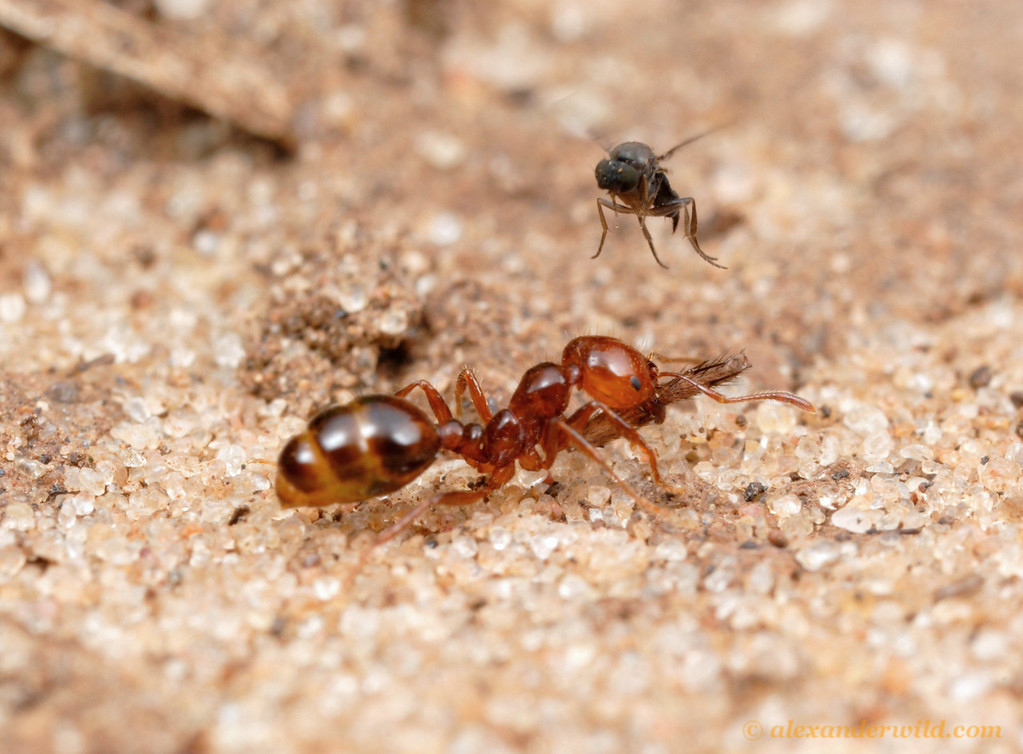An Ant-Decapitating Fly (Phoridae, Pseudacteon sp.) attempts to oviposit on a fire ant (Solenopsis macdonaghi).