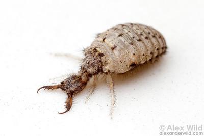 Ant lion larva
