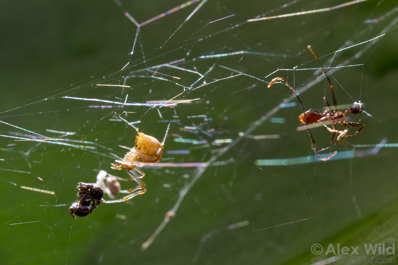 A spiderweb strung across a rainforest leaf has entangled a pair of ants- Azteca (left), and Pheidole (right).
