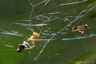 A spiderweb strung across a rainforest leaf has entangled a pair of ants- Azteca (left), and Pheidole (right).  Armenia, Belize