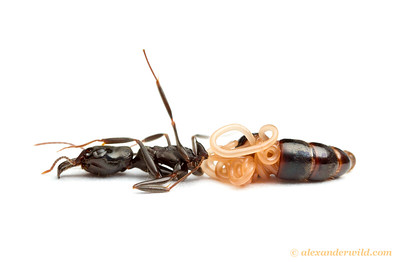 Breaking the abdomen of a parasitized Odontomachus haematodus trap-jaw ant reveals a mermithid nematode coiled within. Worms infect the ants as larvae and result in stunted adults.  Armenia, Belize