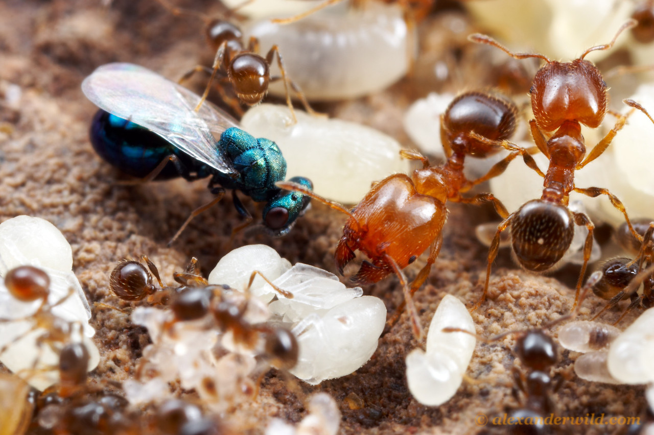 Eucharitid wasps are specialized parasites of ants (in this case, Pheidole bicarinata).