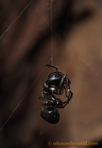 The sucked-dry body of a carpenter ant hangs from a spider's web.  Urbana, Illinois, USA
