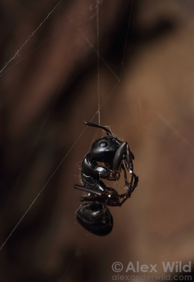 The sucked-dry body of a carpenter ant hangs from a spider's web.