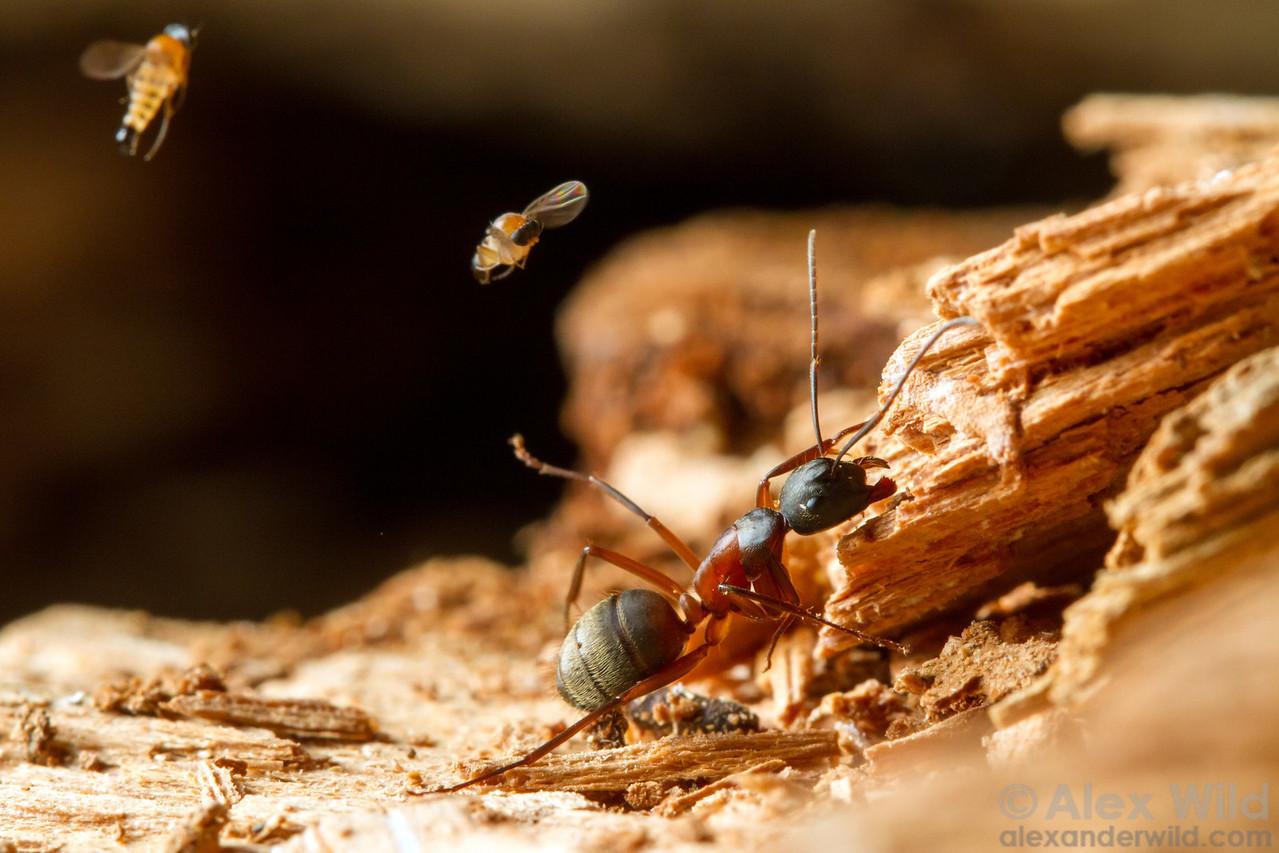Apocephalus sp. attacking Camponotus