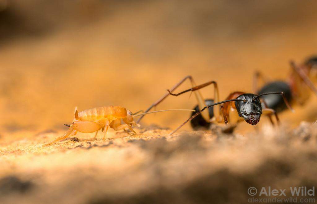 Myrmecophilidae