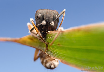Ophiocordyceps on Camponotus atriceps