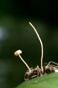 An Ophiocordyceps fungus sprouts from a Camponotus carpenter ant.  Armenia, Belize