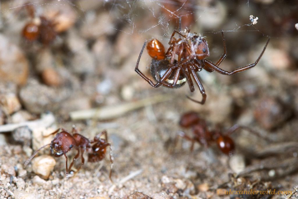 This juvenile widow spider (Latrodectus hesperus) has set up a web over the opening of a harvester ant nest (Pogonomyrmex occidentalis).  Hallelujah Junction, California, USA