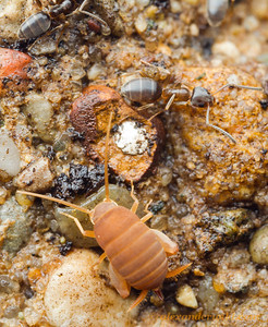 An eastern ant cricket Myrmecophilus pergandei in a nest of odorous house ants Tapinoma sessile.  Urbana, Illinois, USA