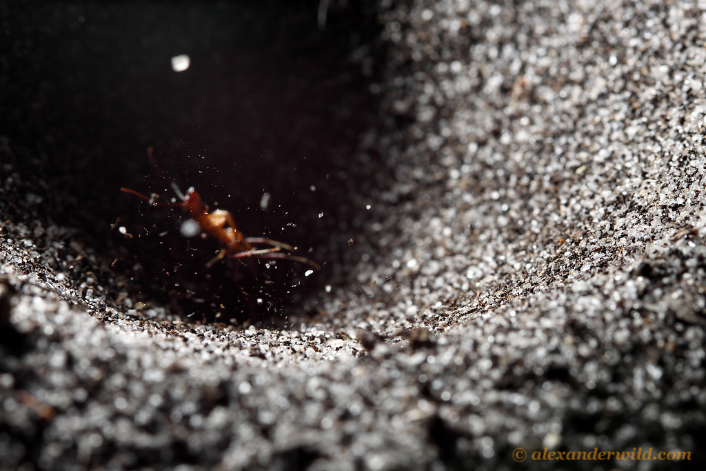 Falling sand traps an ant attempting to escape from an antlion pit.  The larval antlion at the bottom of the pit repeatedly hurls debris at any insect that attempts to escape.  Archbold Biological Station, Florida, USA