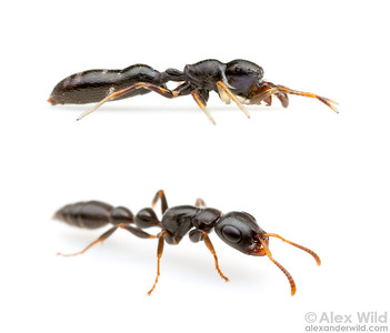 A jumping spider (top) mimics the common twig ant Tetraponera mocquerysi.  Uganda