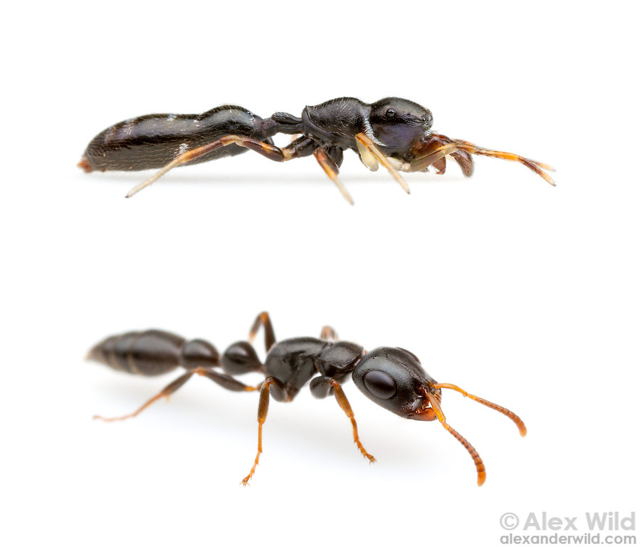 A jumping spider (top) mimics the common twig ant Tetraponera mocquerysi.  Uganda