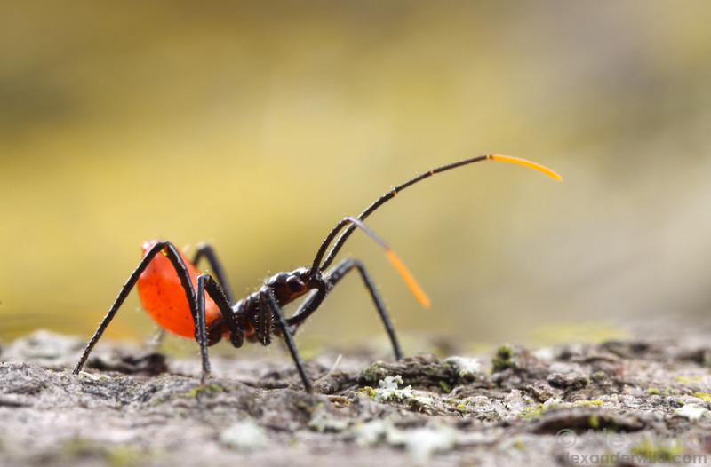 Young assassin bugs are often ant mimics. This is a first-instar wheel bug, Arilus cristatus.  Urbana, Illinois, USA