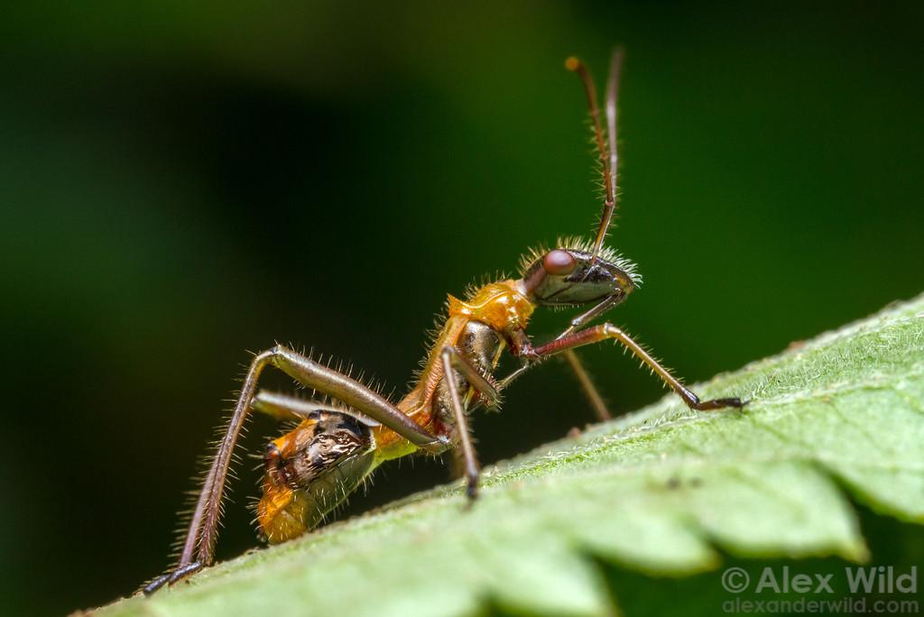 Alydidae