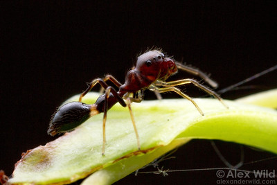 Synemosyna formica (Salticidae) is one of North America's most convincing ant mimics.  Gainesville, Florida, USA