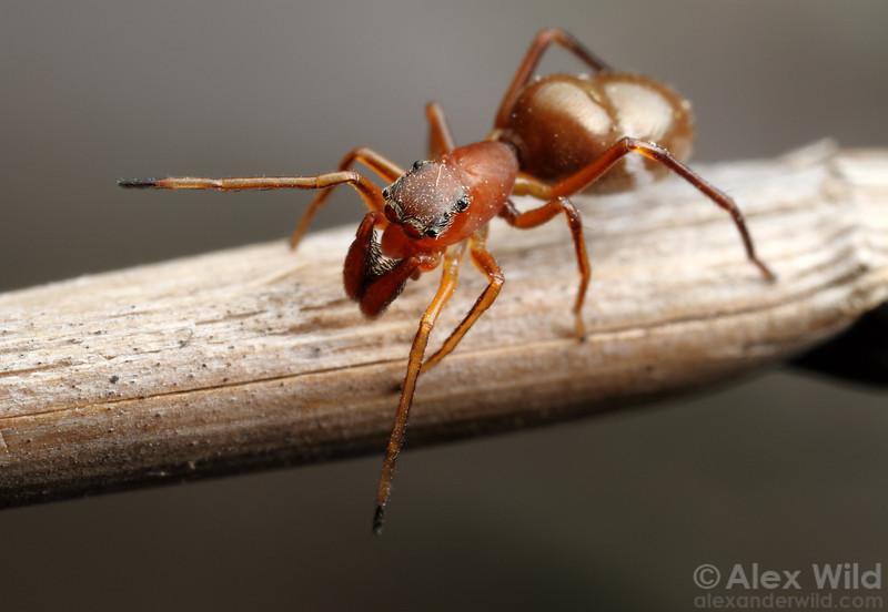 This Sarinda jumping spider mimics Formica field ants.  Croatan National Forest, North Carolina, USA