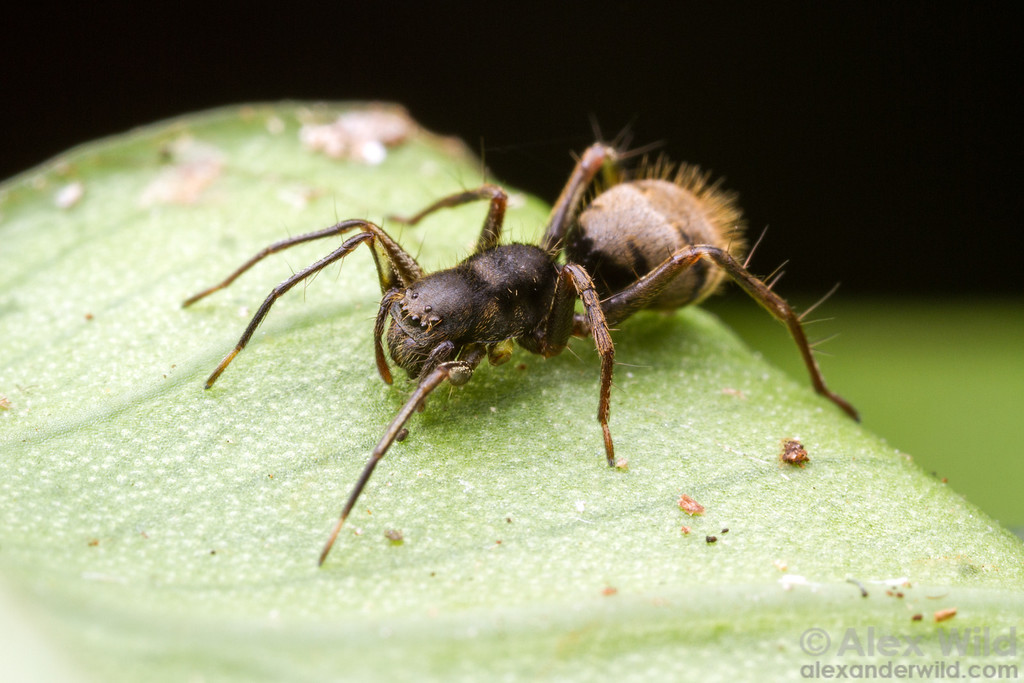 This Central American corinnid spider mimics the common ant Dolichoderus bispinosus.  Armenia, Belize