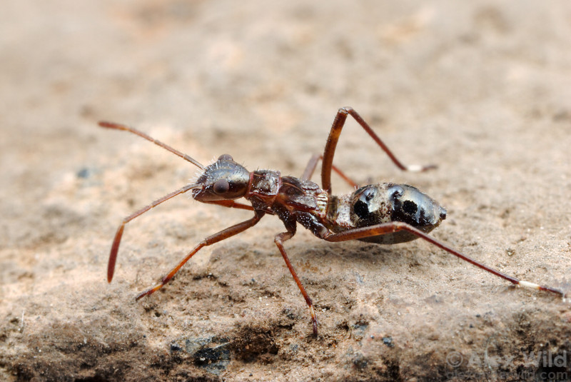 This young bug is a mimic of Formica field ants.  Sagehen Creek Field Station, California, USA