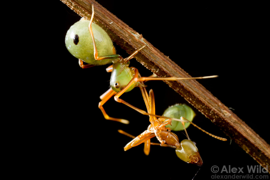 The tropical Australian crab spider Amyciaea albomaculata mimics its prey, the green tree ant Oecophylla smaragdina.  Cape Tribulation, Queensland, Australia