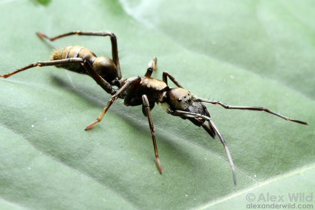 Sphecotypus niger
