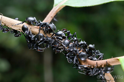 Ants and ant-mimic treehoppers