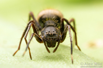 Face-to-face with a corinnid mimic of the common ant Dolichoderus bispinosus.  Armenia, Belize