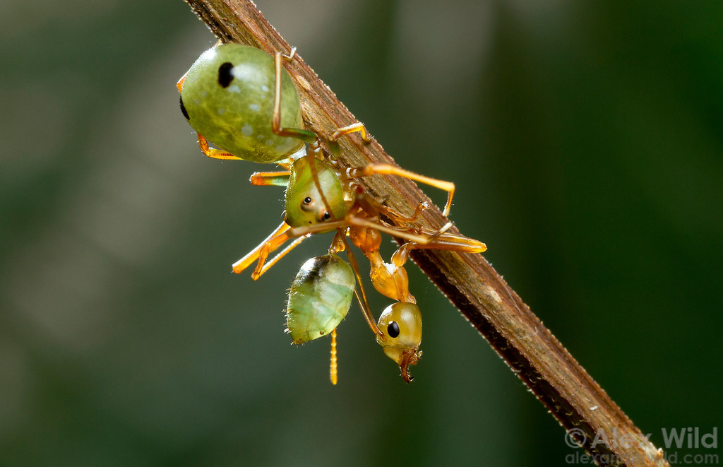 The tropical Australian crab spider Amyciaea albomaculata mimics its prey, the green tree ant Oecophylla smaragdina.  Cape Tribulation, Queensland, Australia