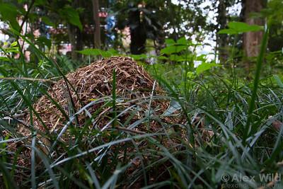A distinctive thatch mound of Camponotus rufipes.  Viçosa, Minas Gerais, Brazil