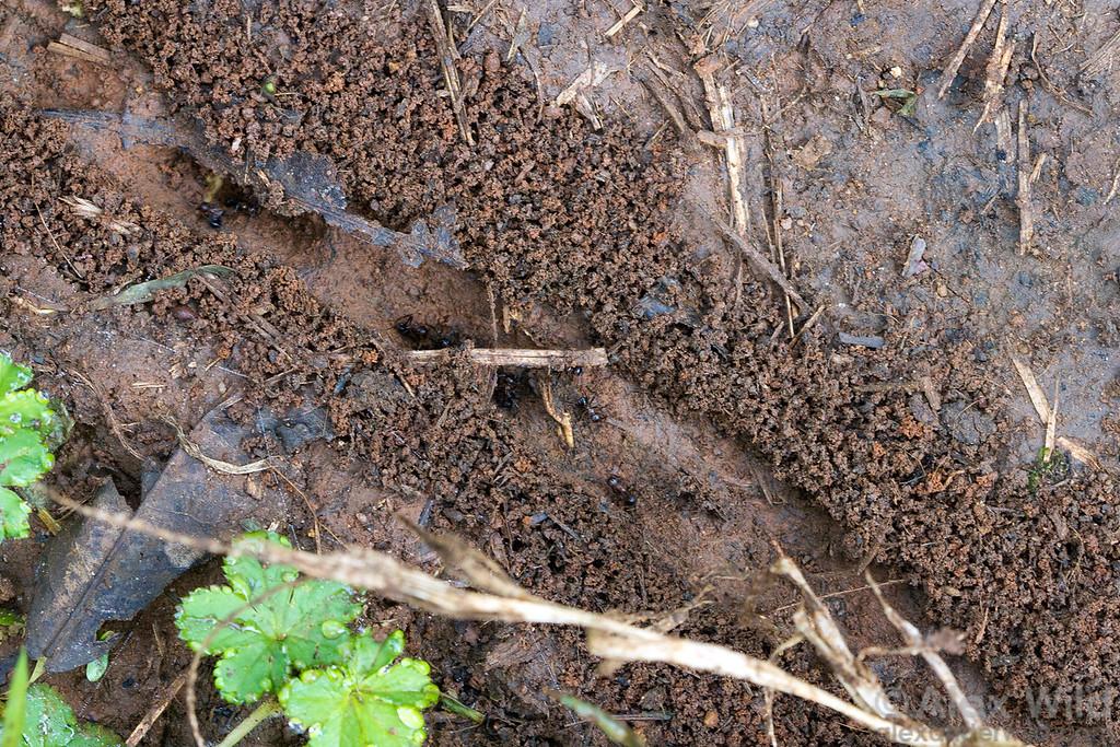 Myrmicaria natalensis keeps well-maintained trails among nests.  Kibale forest, Uganda