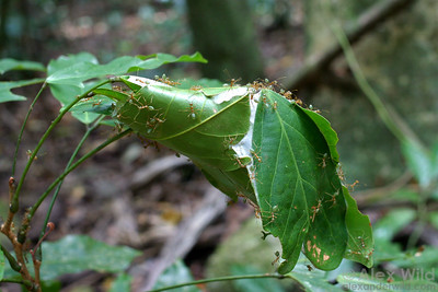 Oecophylla smaragdina, the green tree ant of northern Australia, is a type of weaver ant.  These ants make nests by tying living tree leaves together using silk produced by their larvae.  The silk is visible in this nest as white patches between the leaves.  Cape York Peninsula, Queensland, Australia